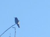 Anna's Humminbird