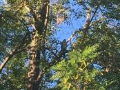 Cooper's Hawk Perched