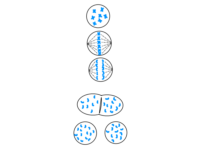 Cell Mitosis