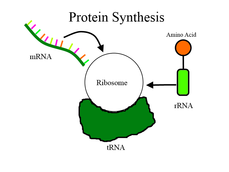 mechanism of protein synthesis